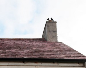 crows on roof