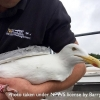 Dublin Urban Gull Ringing Project