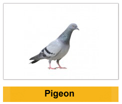 Pigeon Birds Wildlife Management