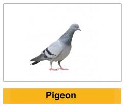 Pigeon Birds Wildlife Management