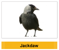 Jackdaw  Wildlife Management Ireland