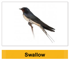 Swallow Wildlife management Ireland