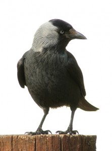 jackdaw - crows