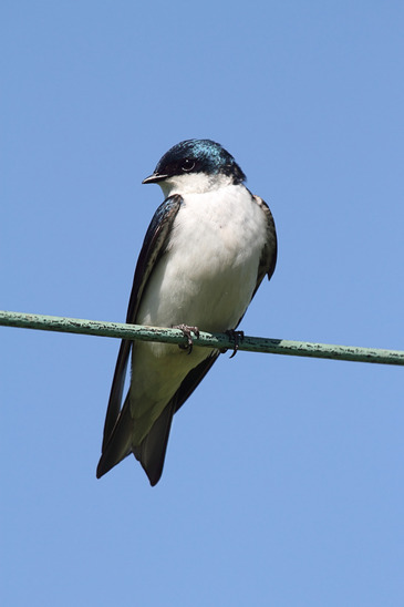 Tree Swallow on a wire