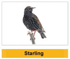 Starling Wildlife Management Ireland