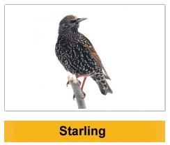 Starling Wildlife Management Ireland
