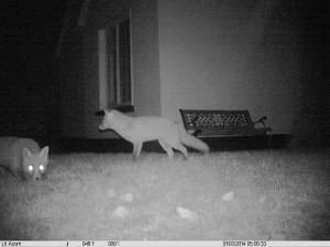 Dublin's Urban foxes captured on our specialist wildlife camera, sneaking around the front of the client's house at nighttime