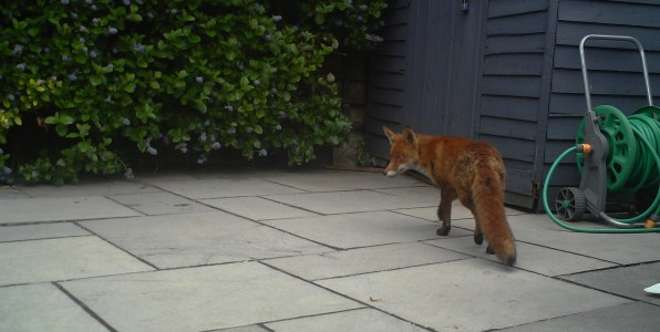 A female fox that was living under this barna shed filmed in broad daylight.
