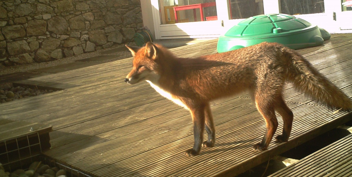 In Wildlife Management Services we often get many calls from people wondering how to get rid of foxes that are causing problems in their garden.