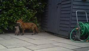 A fox vixen with her cub in a garden in South Dublin.