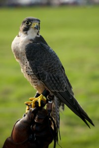 Close-up of peregrine falcon on leather glove